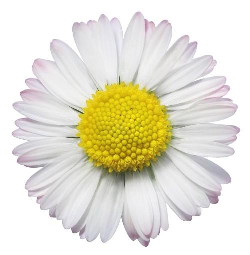 sun-flower-white